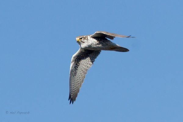 Morely Nelson Snake River Birds of Prey NCA Raptor, photo by Neil Paprock